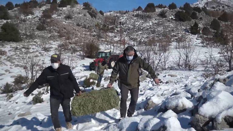 Kahramanmaraş'ta yaban keçileri için doğaya yem bırakıldı
