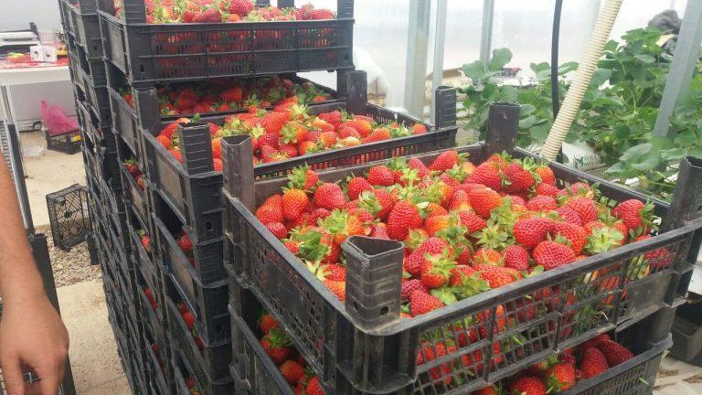 Kahramanmaraş'ta topraksız tarım ilk meyvesini verdi