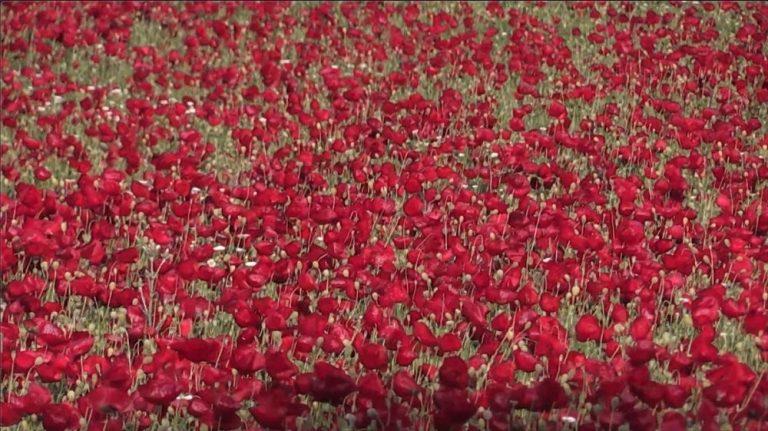 Kırmızı Gelincikler Görsel Şölen Yaşattı