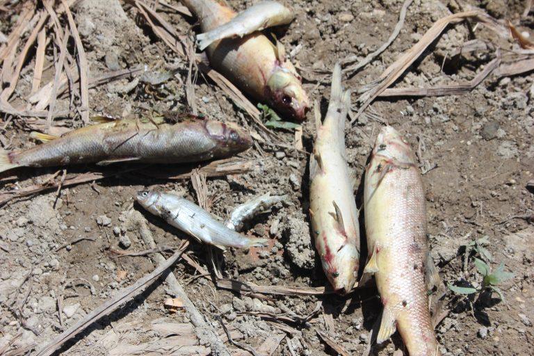 Afşin'de ki toplu balık ölümleri vatandaşları tedirgin ediyor!