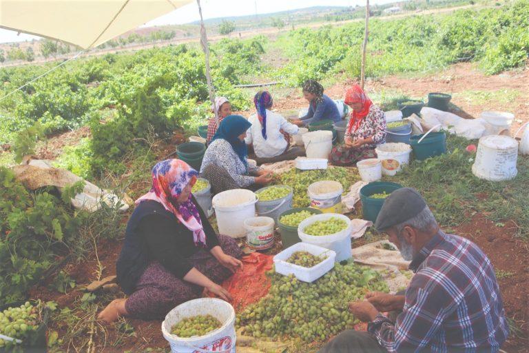 Kahramanmaraş'ta 'peygamber üzümü' hasadına başlandı
